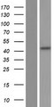 ENOSF1 Protein - Western validation with an anti-DDK antibody * L: Control HEK293 lysate R: Over-expression lysate