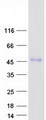 Purified recombinant protein ENTPD5 was analyzed by SDS-PAGE gel and Coomassie Blue Staining