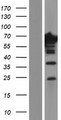 EPS8L1 Protein - Western validation with an anti-DDK antibody * L: Control HEK293 lysate R: Over-expression lysate