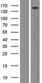 ERCC6L / FLJ20105 Protein - Western validation with an anti-DDK antibody * L: Control HEK293 lysate R: Over-expression lysate