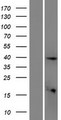 ETV3L Protein - Western validation with an anti-DDK antibody * L: Control HEK293 lysate R: Over-expression lysate