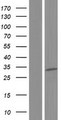 EXOSC6 Protein - Western validation with an anti-DDK antibody * L: Control HEK293 lysate R: Over-expression lysate