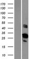FAM110D / GRRP1 Protein - Western validation with an anti-DDK antibody * L: Control HEK293 lysate R: Over-expression lysate