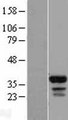 FAM133B Protein - Western validation with an anti-DDK antibody * L: Control HEK293 lysate R: Over-expression lysate