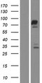 FAM161A Protein - Western validation with an anti-DDK antibody * L: Control HEK293 lysate R: Over-expression lysate