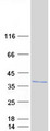 FAM164A / CGI-62 Protein - Purified recombinant protein ZC2HC1A was analyzed by SDS-PAGE gel and Coomassie Blue Staining