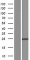 FAM177B Protein - Western validation with an anti-DDK antibody * L: Control HEK293 lysate R: Over-expression lysate
