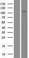 FAM188B Protein - Western validation with an anti-DDK antibody * L: Control HEK293 lysate R: Over-expression lysate