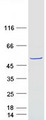 Purified recombinant protein FAM81B was analyzed by SDS-PAGE gel and Coomassie Blue Staining
