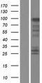 FAM83G Protein - Western validation with an anti-DDK antibody * L: Control HEK293 lysate R: Over-expression lysate