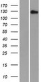 FAM83H Protein - Western validation with an anti-DDK antibody * L: Control HEK293 lysate R: Over-expression lysate