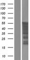 FAM90A1 Protein - Western validation with an anti-DDK antibody * L: Control HEK293 lysate R: Over-expression lysate