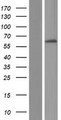 FBXL6 Protein - Western validation with an anti-DDK antibody * L: Control HEK293 lysate R: Over-expression lysate