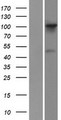 FGD1 Protein - Western validation with an anti-DDK antibody * L: Control HEK293 lysate R: Over-expression lysate
