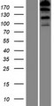 FHOD3 / FHOS2 Protein - Western validation with an anti-DDK antibody * L: Control HEK293 lysate R: Over-expression lysate