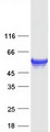 FLAD1 / FADS Protein - Purified recombinant protein FLAD1 was analyzed by SDS-PAGE gel and Coomassie Blue Staining