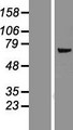FMO5 Protein - Western validation with an anti-DDK antibody * L: Control HEK293 lysate R: Over-expression lysate