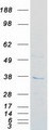 FN3KL / FN3KRP Protein - Purified recombinant protein FN3KRP was analyzed by SDS-PAGE gel and Coomassie Blue Staining