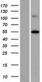 FOXD4L2 Protein - Western validation with an anti-DDK antibody * L: Control HEK293 lysate R: Over-expression lysate