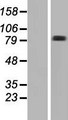 FRMD7 Protein - Western validation with an anti-DDK antibody * L: Control HEK293 lysate R: Over-expression lysate