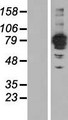 FSD2 Protein - Western validation with an anti-DDK antibody * L: Control HEK293 lysate R: Over-expression lysate