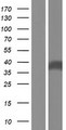 FTSJ1 Protein - Western validation with an anti-DDK antibody * L: Control HEK293 lysate R: Over-expression lysate
