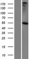 GABRR3 Protein - Western validation with an anti-DDK antibody * L: Control HEK293 lysate R: Over-expression lysate
