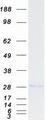 GINS4 / SLD5 Protein - Purified recombinant protein GINS4 was analyzed by SDS-PAGE gel and Coomassie Blue Staining