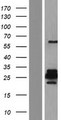GJA10 / CX62 / Connexin 62 Protein - Western validation with an anti-DDK antibody * L: Control HEK293 lysate R: Over-expression lysate
