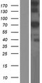 GLB1L Protein - Western validation with an anti-DDK antibody * L: Control HEK293 lysate R: Over-expression lysate