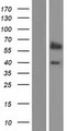 GLIS2 Protein - Western validation with an anti-DDK antibody * L: Control HEK293 lysate R: Over-expression lysate