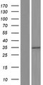 GLTPD2 Protein - Western validation with an anti-DDK antibody * L: Control HEK293 lysate R: Over-expression lysate