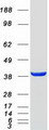 Purified recombinant protein GMPPB was analyzed by SDS-PAGE gel and Coomassie Blue Staining