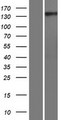 GNPTA / ICD Protein - Western validation with an anti-DDK antibody * L: Control HEK293 lysate R: Over-expression lysate