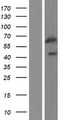 GPR107 / LUSTR1 Protein - Western validation with an anti-DDK antibody * L: Control HEK293 lysate R: Over-expression lysate