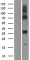 GPR157 Protein - Western validation with an anti-DDK antibody * L: Control HEK293 lysate R: Over-expression lysate