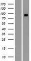 GRAMD1A Protein - Western validation with an anti-DDK antibody * L: Control HEK293 lysate R: Over-expression lysate