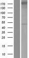 GRAMD3 Protein - Western validation with an anti-DDK antibody * L: Control HEK293 lysate R: Over-expression lysate