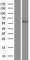 GSTCD Protein - Western validation with an anti-DDK antibody * L: Control HEK293 lysate R: Over-expression lysate