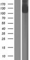 GTF2IRD2B Protein - Western validation with an anti-DDK antibody * L: Control HEK293 lysate R: Over-expression lysate