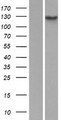 Hairless / HR Protein - Western validation with an anti-DDK antibody * L: Control HEK293 lysate R: Over-expression lysate