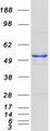 HARS2 Protein - Purified recombinant protein HARS2 was analyzed by SDS-PAGE gel and Coomassie Blue Staining