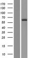 HECA Protein - Western validation with an anti-DDK antibody * L: Control HEK293 lysate R: Over-expression lysate