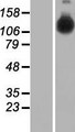 HELB Protein - Western validation with an anti-DDK antibody * L: Control HEK293 lysate R: Over-expression lysate