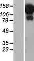 HELZ Protein - Western validation with an anti-DDK antibody * L: Control HEK293 lysate R: Over-expression lysate