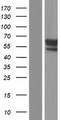 HS6ST3 Protein - Western validation with an anti-DDK antibody * L: Control HEK293 lysate R: Over-expression lysate