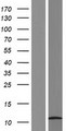 HSBP1L1 Protein - Western validation with an anti-DDK antibody * L: Control HEK293 lysate R: Over-expression lysate