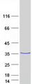 HSD17B3 Protein - Purified recombinant protein HSD17B3 was analyzed by SDS-PAGE gel and Coomassie Blue Staining