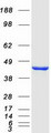 IDO1 / IDO Protein - Purified recombinant protein IDO1 was analyzed by SDS-PAGE gel and Coomassie Blue Staining