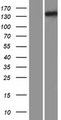 IFT122 / WDR10 Protein - Western validation with an anti-DDK antibody * L: Control HEK293 lysate R: Over-expression lysate
